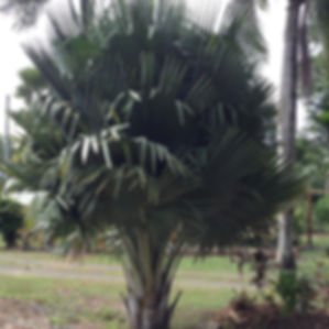 Bailey's Capernicia Palm Tee, Rare palm trees in the landscape. Fan palm tree