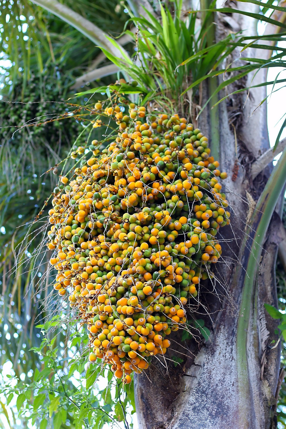 Pindo Palm Tree Fruit ( Jelly Palm )