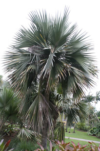 Blue Latan Palm Tree