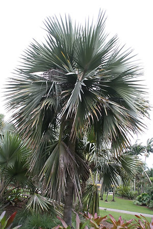 Blue latan palm tree in the landscape. Rare palm trees in the wild
