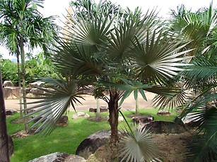 Key Thatch Palm Tree