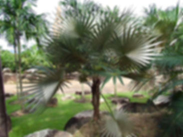Key Thatch palm tree in the wild