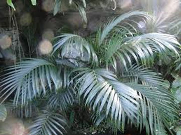 Rare Parlor palm tree in the wld