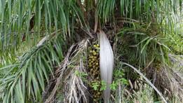 Macaw Palm Tree
