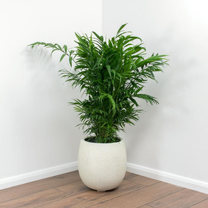 Parlor Palm Tree, Indoor palm tree