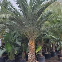 Sylvester Palm Tree - Garden Center