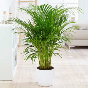 Areca Palm Tree, Indoor palm trees