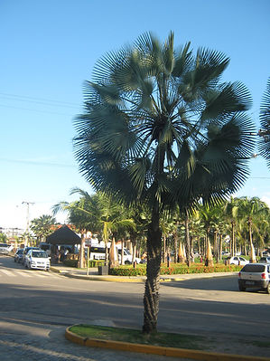 Caranday palm tree in the landscape. Rare palm tree in the wild.