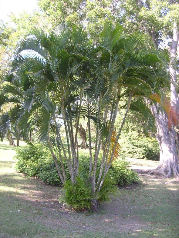 Areca Palm Tree - Most Popular Palm Trees