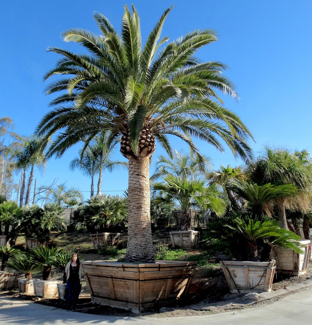 Canary Island Date Palm Tree - Most Popular Palm Trees