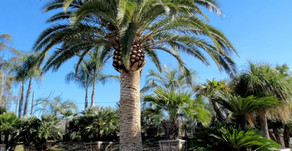 Most Popular Palm Trees