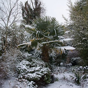 Palm Tree In The Snow, Windmill Palm Tree In The Snow