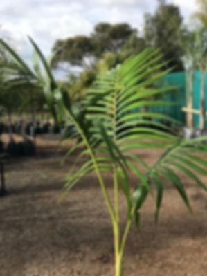 Baby Purple King Palm Tree