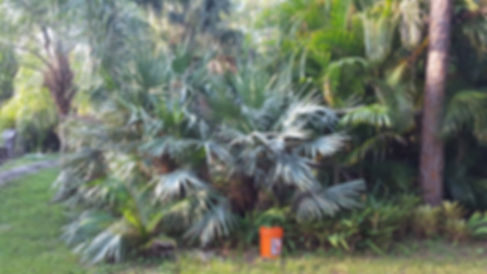 Saw Palmetto palm tree in the wild