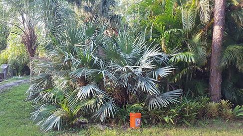 Saw Palmetto palm tree in the wild