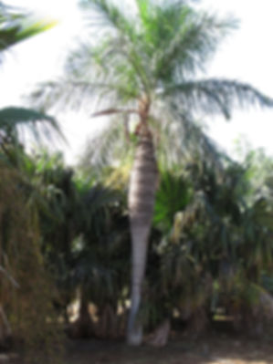 Cuban belly rare palm tree in the landscape