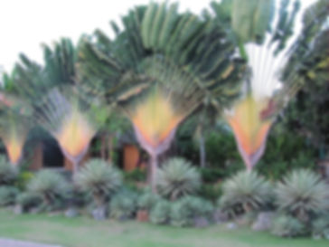 Travelers Palm Tree in the landscape