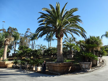 Canary island date palm tree in the landscape. date palm tre that produces dates