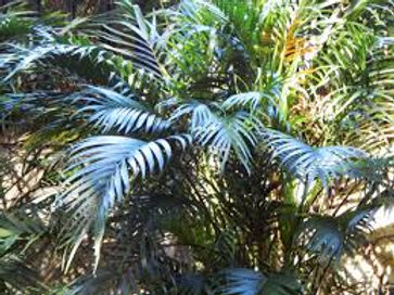 Cat palm tree in the wild landscape. Rare palm tree. dark leaf palm tree