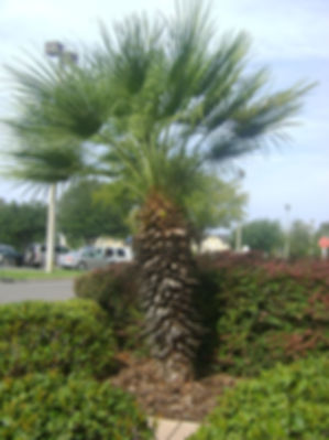 European fan palm tree in the wild