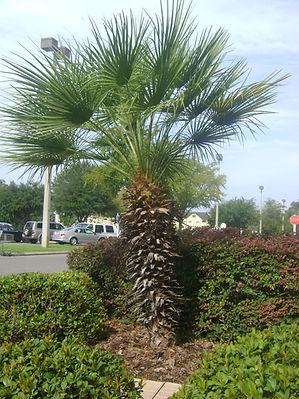 European fan palm tree in the wild