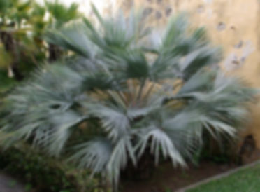 Blue hesper palm tree in the landcape. Rare palm trees in the garden.