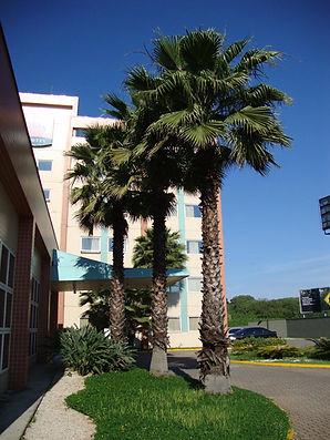Mexican Fan Palm tree in the landscape