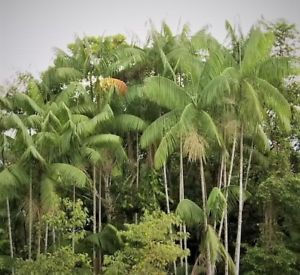 Acai Palm Tree - Popular Palm Trees - Acai Berry