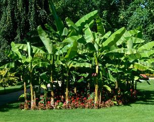 Banana Palm Tree
