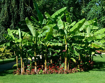 Banana tree, musa basjoo, hardy banana tree growing in the wild landscape.
