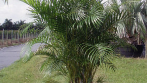 Planting Your Palm Tree From Nursery Pot Into The Ground
