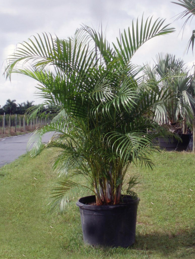 Areca Palm Tree, Container Palm Tree, Palm Trees, Transplanting Palm Trees From Pot
