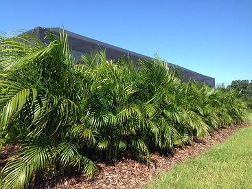 Areca palm trees in the landsape.
