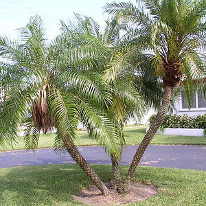Pygmy Date Palm Tree in the wild landscape