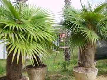 Rare Old Man Palm Trees in the wild