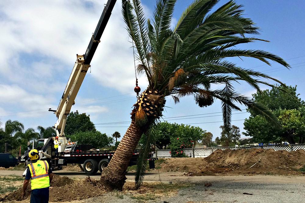 Palm Tree Transplant, Palm Tree, Canary Date Palm Tree, How To Transplant a Palm Tree
