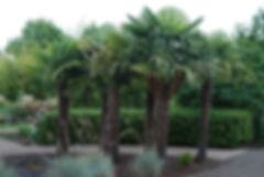 cold hard palm tree, Palm tree rental, palm trees, plant rental, hotel lobby plant rental, palm trees