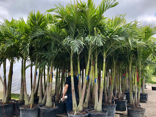 Christmas Palm Trees - Plant Nursery In CT