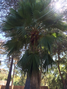 Guadalupe Palm Tree