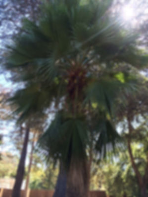 Guadalupe palm tree in the landscape