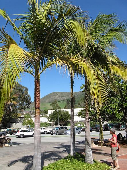 King Palm Tree
