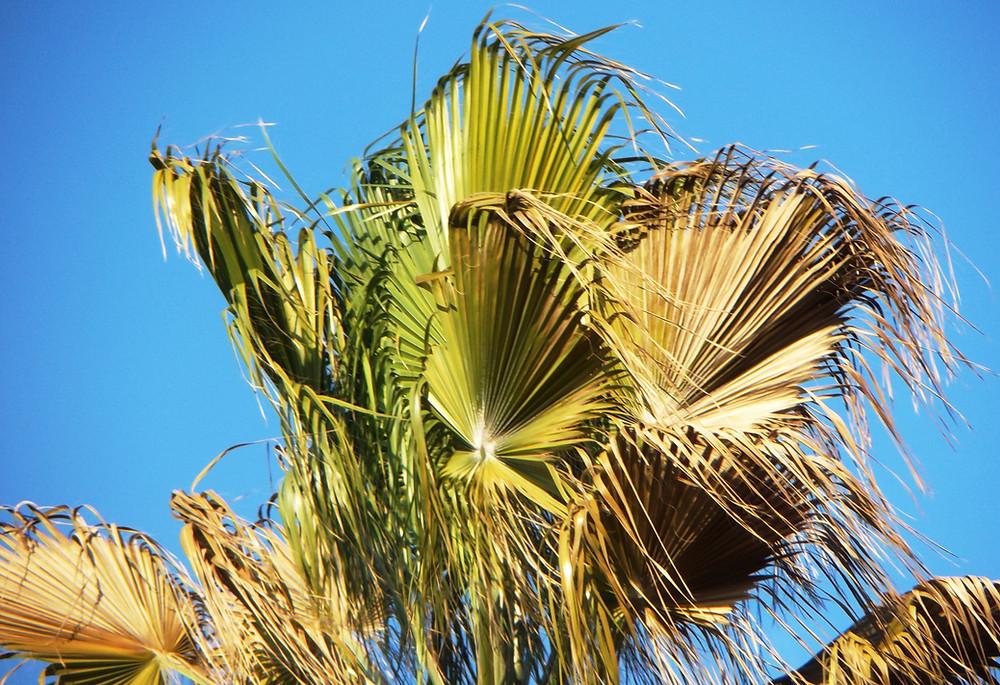 Sick Mexican Fan Palm Tree