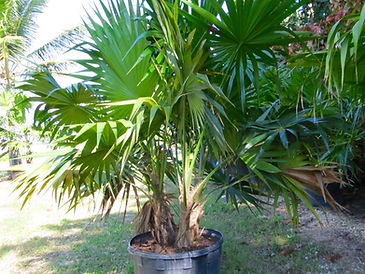 Florida thatch palm tree in 25 gallon pot