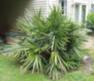 Cold hardy Needle palm tree in the landscape