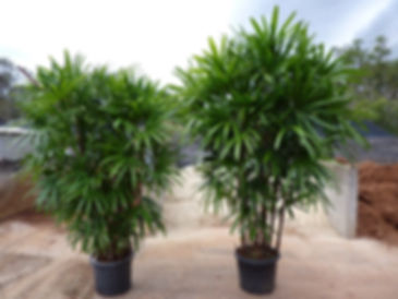 Jade Palm Trees in the wild
