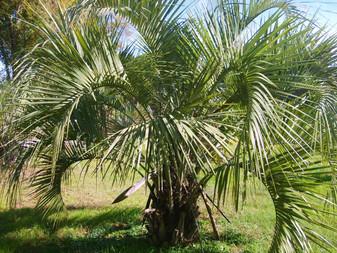 Pindo Palm Tree