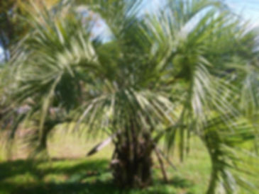 Pindo palm tree in the wild
