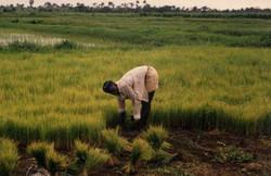 Sierra_Leone_rice_farming