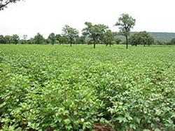 Cotton field in northern Benin