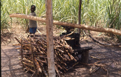 A boy grinding sugar cane